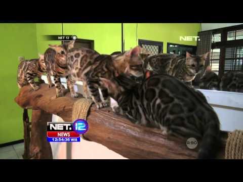 Kucing Bengal Memiliki Bulu Bermotif Macam Tutul - NET12