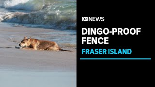 Fraser Island set to receive $2m dingo-proof fence in bid to curb attacks on visitors | ABC News