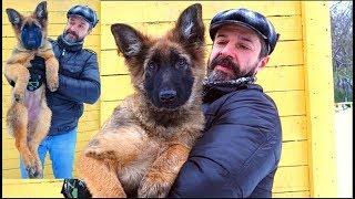 Мишель - Щенок Немецкой овчарки зонарного окраса (зонарник). German Shepherd puppy 4 months.