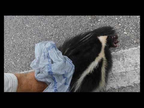4K Lumix FZ300 . Removing Roadkill ( Dead Skunk) to Save the Lives of Vultures . San Marcos-TX