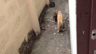 Repeat youtube video แมวกัดกัน มันส์ที่สุดในโลก โหดสัด
