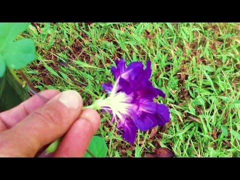 Ипомея пурпурная - неприхотливый вьюнок