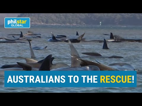Rescue Of 180 Stranded Whales
