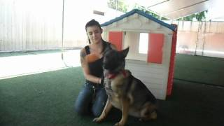 ADOPTED! Tikka - Beautiful sweet German Shepherd girl all love and likes to play ball needs home