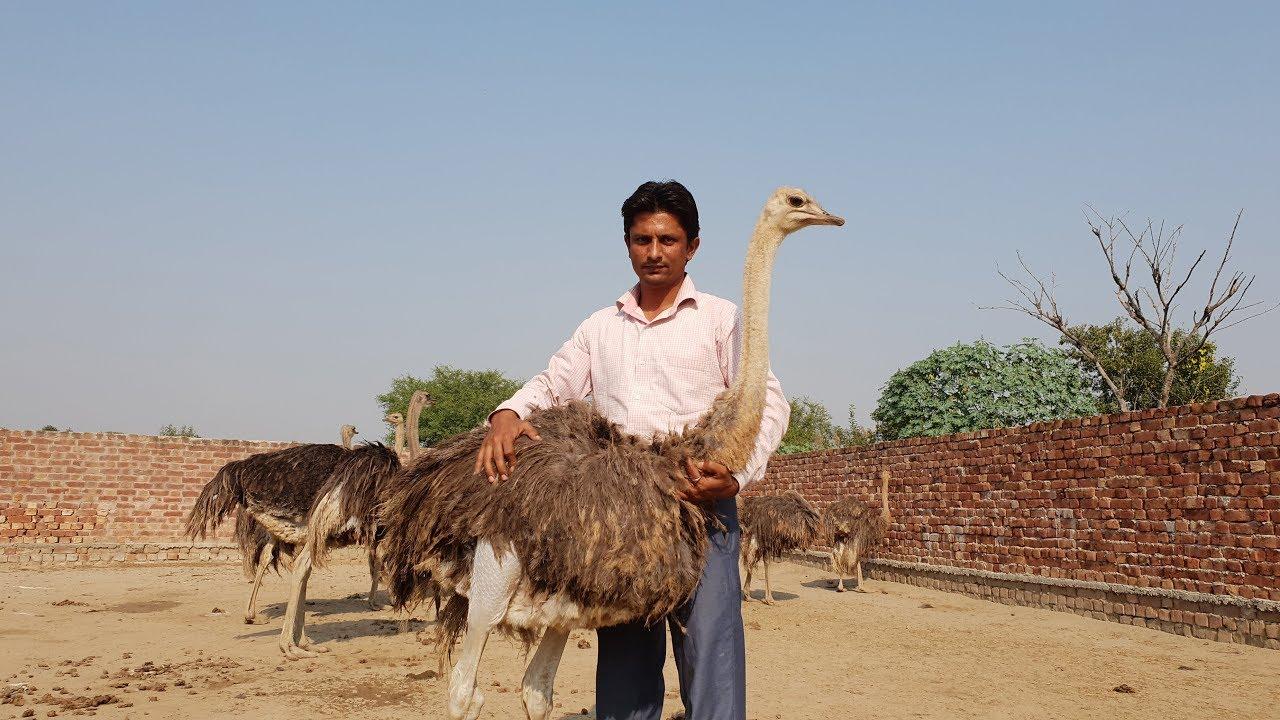 info about ostrich farming urdu/hindi |ostrich Sialkot