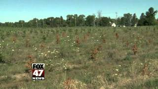Drought Kills Thousands Of Young Christmas Trees In Michigan