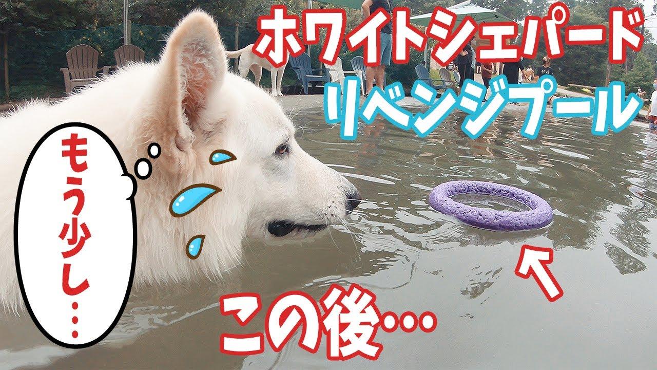プールに浮かぶオモチャが取りたいホワイトシェパード、この後…笑【ドギーズアイランド】