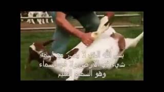 Comment gorger un mouton tous seul