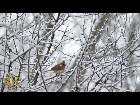 Canada: One hour winter nature and wildlife footage in 4K