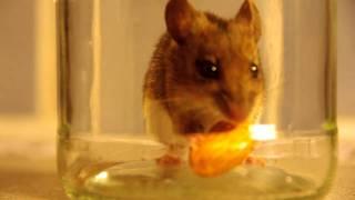 Wood Mouse.avi