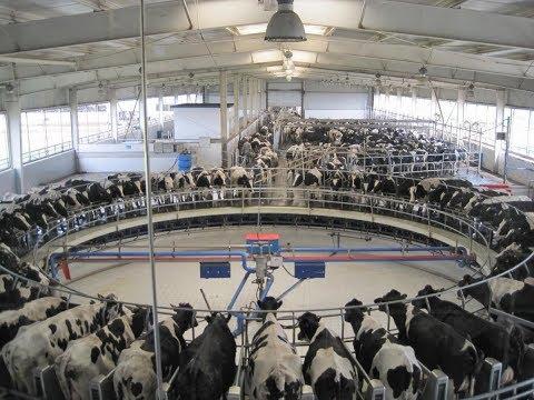 દુધાળા પશુઓ ની માવજત | increase milk production | Cow's and Buffalo farming | Dairy products