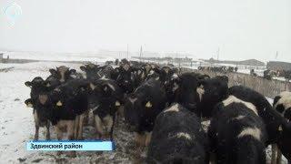 Коровы в Новосибирской области заражены лейкозом