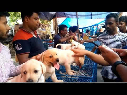 See How People Check Puppy At Galiff Street l Cute Lab Puppies