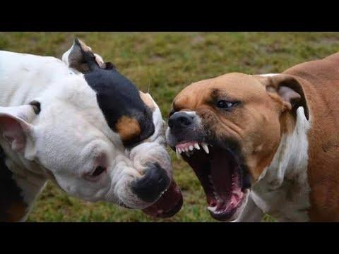 PIT BULL vs ROTTWEILER Real Fight 2017