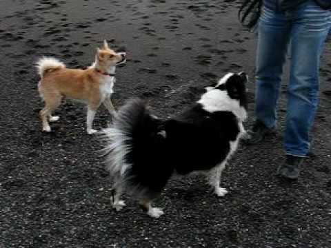 Iceland dogs walking by the ocean