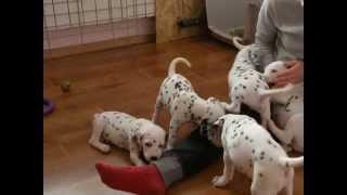 Dalmatian Puppies Stormguard Kennel / Щенки далматина