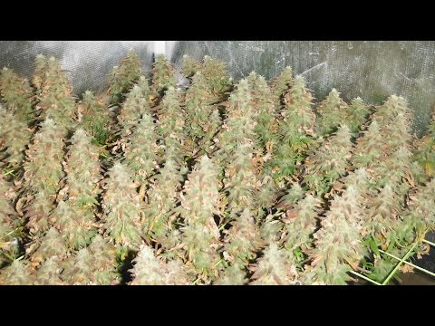 Harvesting animal crackers marijuana youtube