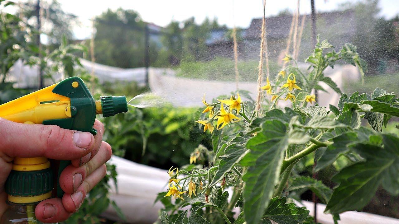 Это видео предотвратит фитофтору и поможет вырастить большой урожай томатов! От фитофторы помидоры!