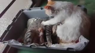 Cat father helps the mother to have her children!!