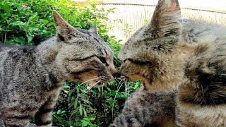 猫島を散歩してたら強烈な猫のケンカに遭遇した