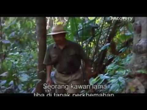 Dokumentari Pemburu Lebah Madu Tualang di Tasik Perdu, Kedah- National Geography