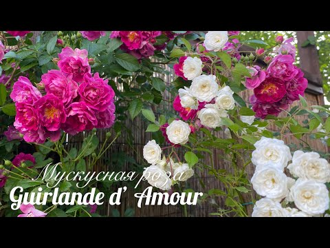 Роза для тени - Гирлянд Амур! (Урал, 3 зона)