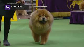 Chow Chows | Breed Judging 2019