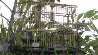 curio preseiro  igarape-açu o cobiçado