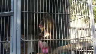 Мандрил(Ереванский зоопарк)