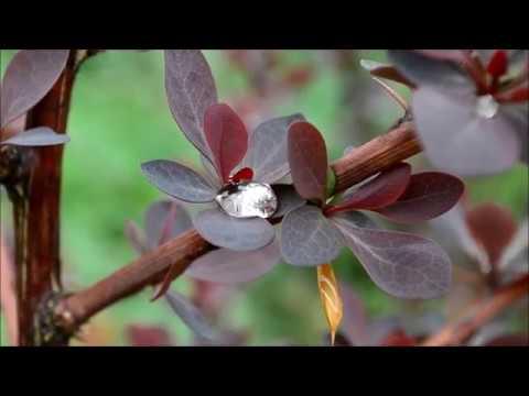 Барбарис кустарник в  весеннем саду. Барбарисы в ландшафтном дизайне  – фото и видео