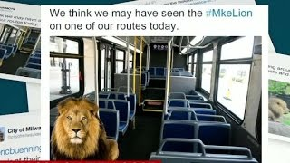 Mystery lion on the loose in Milwaukee