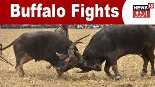 Guwahati:  Defying SC ban, Buffalo Fights Still Continue In Assam