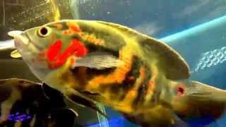 Крупные аквариумные рыбки(Аквариум и рыбки - крупные рыбки а аквариуме: Астранотус, Полиптерус сенегальский. Сомик парчёвый. Аквариум..., 2015-08-05T13:32:45.000Z)