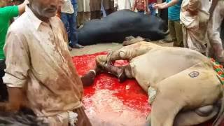 Camel Qurbani in Pakistan - S.R Cattle