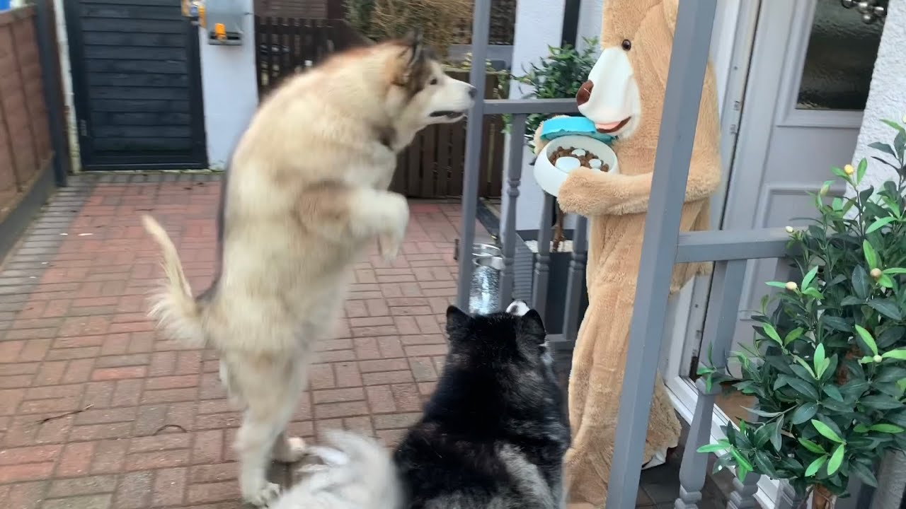 Pranking Our Dogs In A Teddy Bear Outfit Watch Til The End Funniest Reaction Youtube Close up fluffy malamute puppy in the garden slow motion. youtube