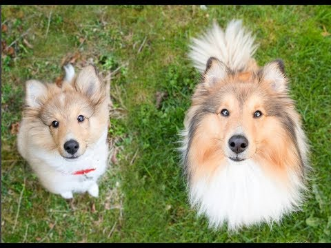 Cute puppy transformation │Luca the Sheltie