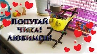 Волнистый попугай Чика! Знакомство!#Птицы #Любимый питомец #Смешное видео