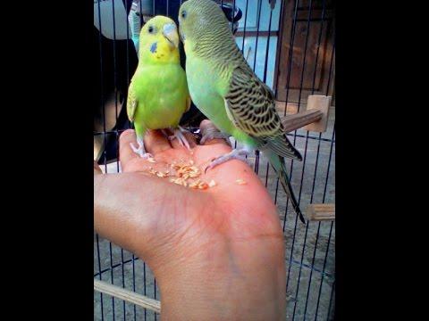 Cara Menjinakkan Dan Melatih Burung Parkit Liar Youtube