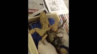 Pig Dissection- Idalou High School