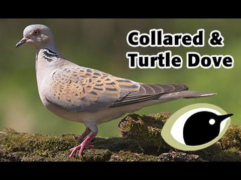 Identifying Collared Dove Turtle Dove Bto British Trust For