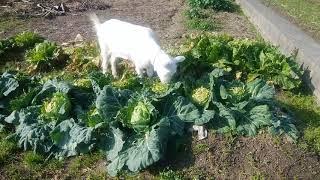 ヤギ  のまりちゃん 専用の野菜畑で 今日も食べまくって 無料食べ放題です 新鮮ダヨネ うメーエ うメーエ.