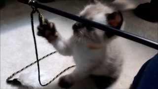 Cute & fluffy 5 week old Siamese kittens