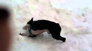 [video] Apollo The Boston Terrier Gets Wild In The Snow
