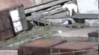 Нападение белого медведя (Polar bear attack)