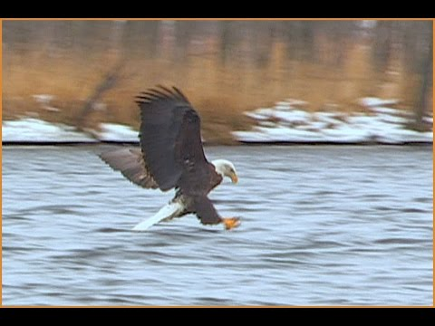 Hungry Bald Eagles Fishing