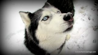 Talking Dog Oakley I Love you and More talking Siberian Husky