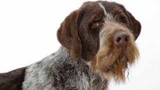 De origen alemán, se conoce al Braco Alemán de pelo de alambre en s...