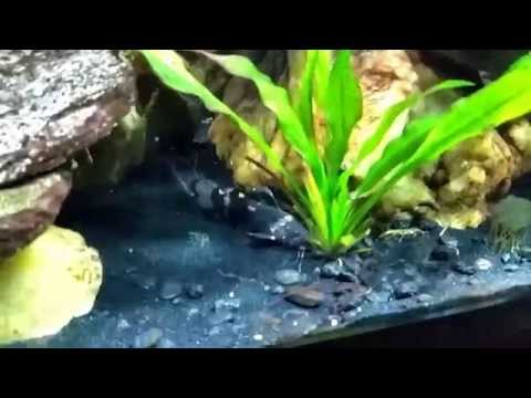 South American Bumble Bee Catfish