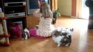 Shih Tzu Puppies Playing With Mom