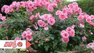 Ngắm hoa hồng cây giá siêu đắt   VTC